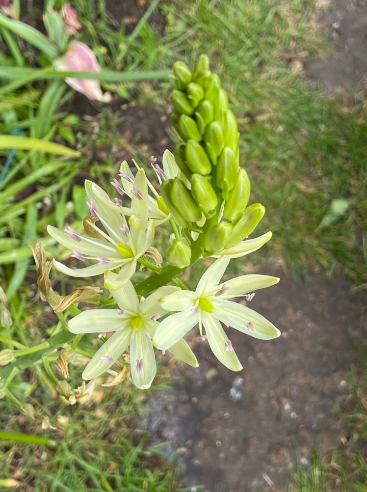 Camassia with purple anthers May 2020
